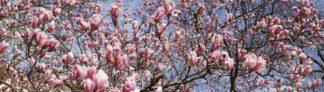 Magnolienblüten-Baum
