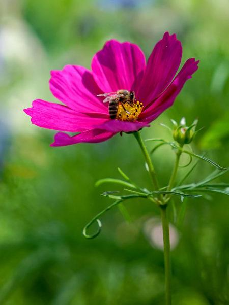 Biene Bestäubung